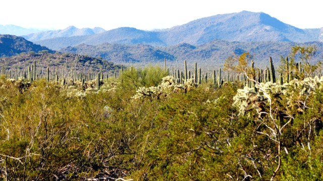 "A Saguaro Cactus ""forest"" in Organ Pipe National Monument. There are more Saguaro Cactus in Organ Pipe National Monument than in the Saguaro National Park."